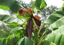 6/11, open more to reveal plantains in side.