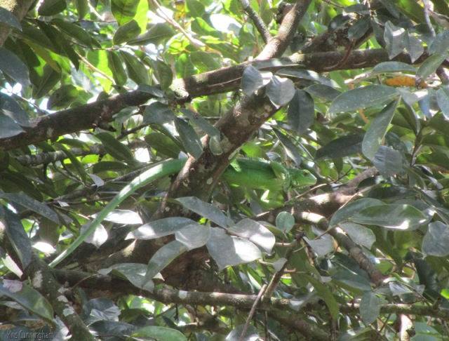 Home again. Can you spot the baby iguana in the tree?