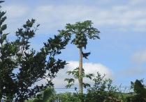 An oropendula visits my neighbor's papaya tree