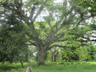 A few more of the beautiful, huge, Panamanian trees