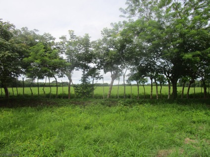 Living fences bordering green fields
