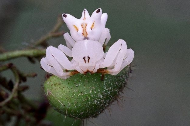 Orchid Mimicking Spider