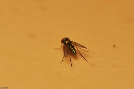 A golden fly