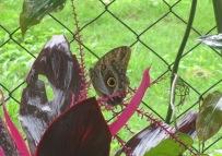An owl butterfly.