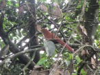 Squirrel Cuckoo. I was very lucky to get this photo. They don't visit much, they are very quiet, and tend to hide in the tree where you can barely see them. The tree is losing its old leaves and starting to make new ones, so that helped.