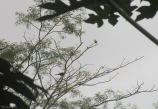 The oropendula towards the lower left was doing his bowing, flapping, and calling routine which caught my ear. There happened to be a flycatcher in the tree at the same time.