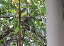 This iguana likes to walk across the roof and jump into the fruit tree. It's surprising how much noise a little creature can make on a metal roof.