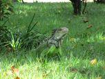Cool iguana