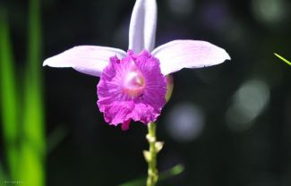 A bamboo orchid