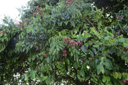 The star fruit also fruits multiple times a year.