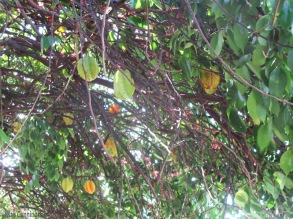 It's easier to spot the fruit if you go under the tree. This one always seems to be dropping fruit so if I want to bring some home, I know where to go.