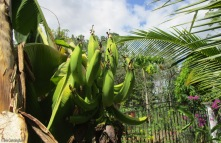 I have another bunch of plantains coming