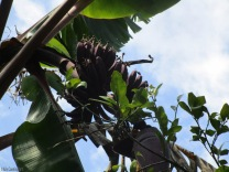 We also have a bunch of red bananas coming