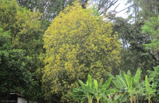 This is one of my neighbor's two trees. When she has them she shares, so it might be a good year for avocadoes too.