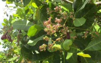 You can see a green nut in the center of the picture. Eventually the fruit will form from the dark purple stem looking thing, and the nut will turn gray.