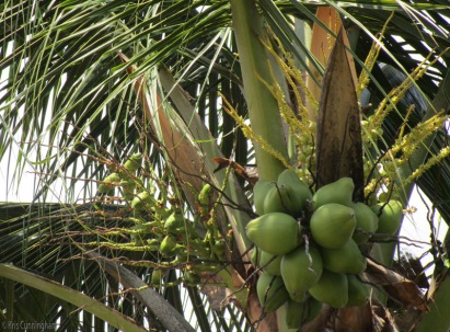 One a coconut gets going, it seems to produce continuously. This one has young green coconuts, small ones to the left, and flowers above just starting to form into little coconuts.