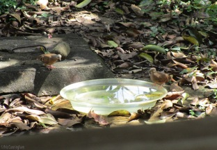 These ruddy ground doves visit the birdbath a lot to drink, but they rarely get in the water