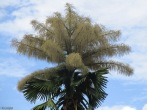 The huge palm in the area is still flowering, though the flowers are fading and on the tree itself, the leaves are turning brown.