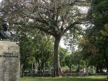 another great tree in Parque de la Fraternidad