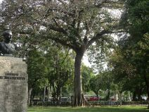 another great tree in Parque de la Fraternidad