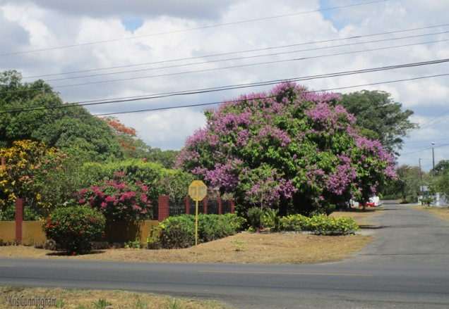 I don't know what this purple tree is either