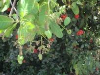 green cashews on immature fruits