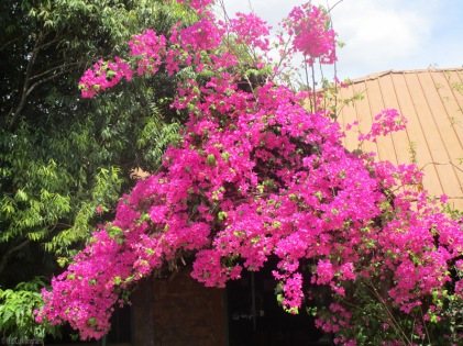 one of the many bougainvilleas covered with flowers