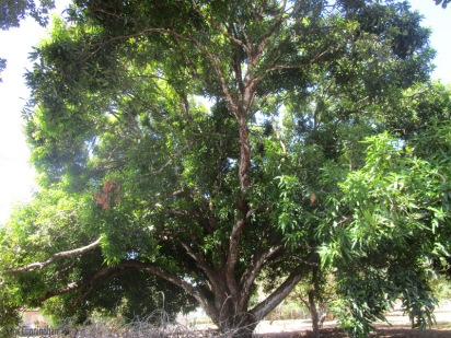One of the many huge, beautiful mango trees in the area