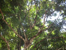 Look at all the mangoes up in the tree! Many trees are just loaded with fruit this year