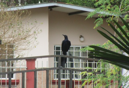these grackles can make a lot of noise