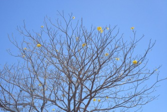 the yellow one in our neighborhood is done for the year. On windy days the flowers can be blown off in a day or two.