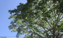 this huge tree is making new lacy leaves and dropping seed pods everywhere'