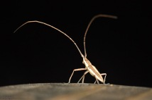 Here is my nighttime visitor with the long feelers