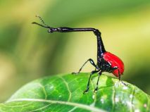giraffeweevil.jpg.638x0_q80_crop-smart