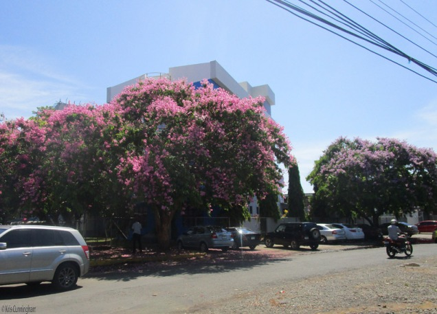 I found a pink flowering tree of the same type as the purple flowering trees behind Chiriqui Hospital