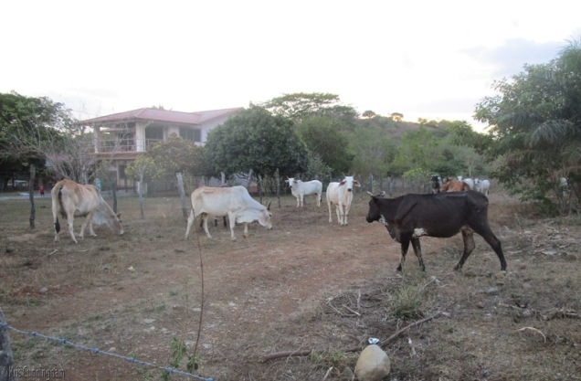 Yesterday these cows were in the vacant lot just outside our neighborhood.