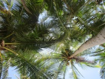 Our view overhead, and thankfully none of the coconuts fell down on us