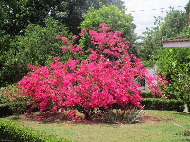 Pretty bougainvillea