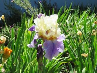 What a beautiful iris!