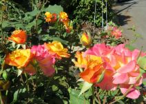 These roses started out yellow, then turned pink and eventually almost white.