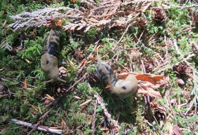 Elizabeth spotted these awesome snails munching on dead pine needles