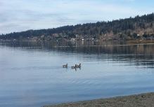 There were quite a few Canada geese here