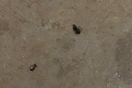 A little June bug, and something that looked like a huge ant but I think is related to the other non-flying winged insects that appeared one night