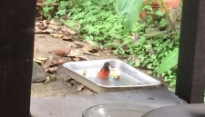 One of the many tanagers who visit