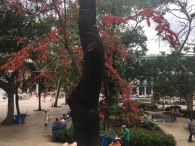 I love the red flowers on this tree (photo by Joel)