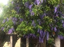 Wisterias are blooming around town
