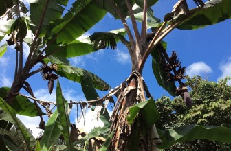 Today, from the other direction. The bananas are starting to emerge.