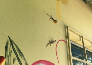 Showing off for another lizard on the wall, who didn't seem the least bit impressed or interested