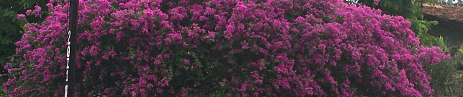 The bougainvillea are really beautiful in the summer!